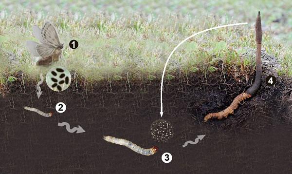 Những bẹnh mà đông trùng hạ thảo nhân tạo chữa được Dong-trung-ha-thao-nhan-tao-2